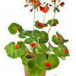 Potted plant of red geranium isolated on white — Stock Photo #15840303