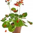 Potted plant of red geranium isolated on white — Stock Photo #15840325