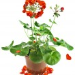 Potted plant of red geranium isolated on white — Stock Photo #15840339