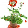 Potted plant of red geranium isolated on white — Stock Photo