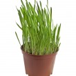 Green grass in a pot isolated on a white background — Stock Photo