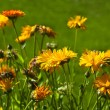 Stock Photo: Orange colored calendula, marigolds flowers in green garden background