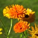 Orange colored calendula, marigolds flowers in green garden background — Stock Photo