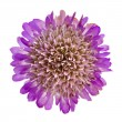 Pink purple flower closeup isolated - Stock Photo