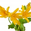 Blossom of Lesser Celandine, Ficaria Verna Flower, isolated on white - Stock Photo
