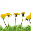 Yellow dandelions in green grass on white background (taraxacum officinale) — Stock fotografie