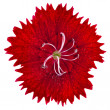 Stock Photo: Red carnation flower head isolated on white