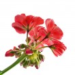 Red geranium flower isolated on white background — Stock Photo #15842841