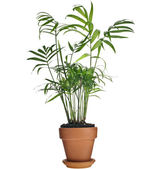 Howea palm tree in flowerpot isolated on white — Stock Photo
