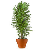 Decorative Conifer Sapling Tree in a pot Isolated on a white — Stock Photo