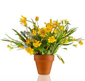 Bouquet Blossom Flowers of Lesser Celandine and Yellow Llily in terracotta clay flowerpot isolated on white — Stock Photo