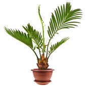 Palm tree in flowerpot — Stock Photo