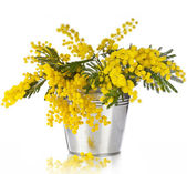 Bouquet mimosa acacia flowers in a bucket of zinc, on white — Stock Photo