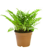 Fern in a green pot isolated on white background — Stock Photo