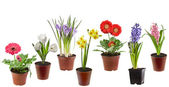 Spring flowers in the pot isolated on a white background — Stock Photo