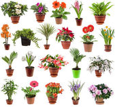 Collection of flower houseplants in flower pot, isolated on white background — Photo