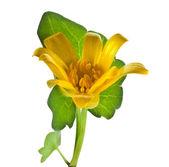 Blossom yellow flower of Lesser celandine (Ranunculus Ficaria Verna ), isolated on white — Stock Photo