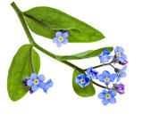 Spring flowers. Field Forget-me-not (Myosotis arvensis) isolated on white background — Stock Photo