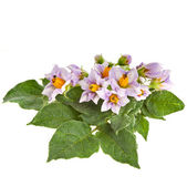 Bouquet flowers potato with leaves isolated — Stock Photo