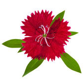 Red carnation flower head isolated on white — Stock Photo