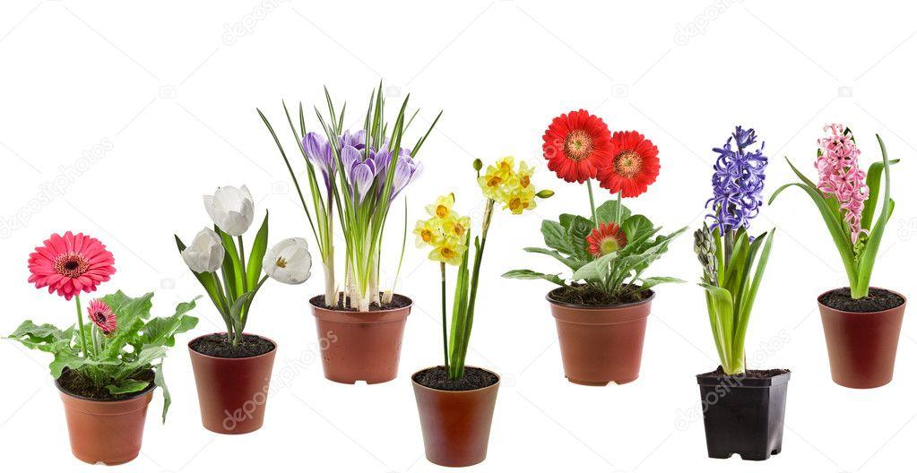Fleurs de printemps dans le pot, isolé sur fond blanc \u2013 Image
