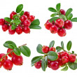 Collection fresh cranberries isolated on white background — Stock Photo #15892207