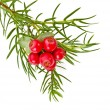 Christmas juniper branch with red berries isolated on white — Stock Photo