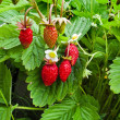 Bush of red strawberry - Stock Photo