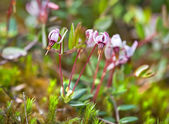 Flowering wild cranberries growing in bog — Stock Photo