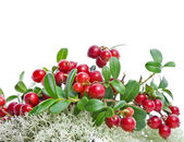 Granberries in Northern Reindeer Lichen isolated on white — Stock Photo