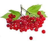 Bayas de viburnum rojo — Foto de Stock