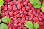 红树莓在孤立的框 — 图库照片