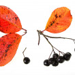 Black ashberry, Black rowan, Black chokeberry (Aronimelanocarpa) — Stock Photo #16044699
