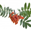 Bunch of red rowan isolated on white - Stock Photo