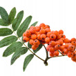 Bunch of red rowan isolated on white — Stock Photo #16044803
