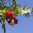 Red ashberry rowan berries on a tree - Stock Photo