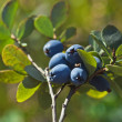 Bog Northern Bilberry — Stock Photo #16048689