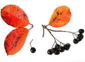 Black ashberry, Black rowan, Black chokeberry (Aronia melanocarpa) — Stock Photo