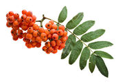 Bunch of red rowan isolated on white — Stock Photo