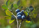 Bog Northern Bilberry — Stock Photo