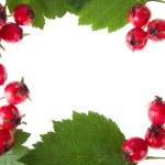 Hawthorn decoration — Stock Photo #16051565