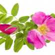 Brier, wild rose isolated on white — Stock Photo #16051855