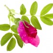 Brier, wild rose isolated on white — Stock Photo