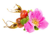 Wild rose isolated on white background — Stock Photo