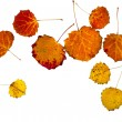 Colorful autumnal aspen leaves - Stock Photo