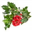 Sprig of European holly ilex christmas decoration - Stock Photo