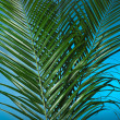 Palm branches on the blue background — Stock Photo