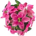 圣诞花卉一品红 — 图库照片