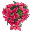 Stock Photo: Christmas flower poinsettia