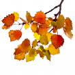 Colorful autumn aspen tree branch isolated on white background - Stock Photo